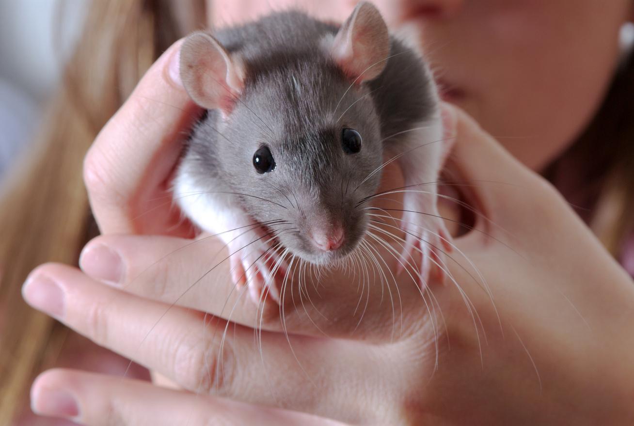 patkányos cikk nyitókép