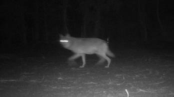 Száz év után először láttak Belgiumban farkast, valószínűleg le is lőtték