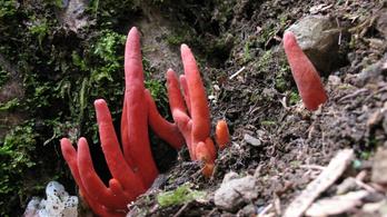 Erős mérgű ázsiai gombát találtak Ausztráliában