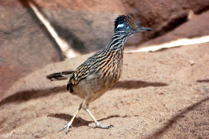Egy gyalogkakukk az Arizona-Sonora sivatagi Múzeumban