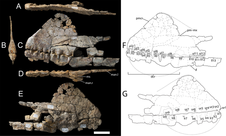 A holotípus koponyadarabjai
