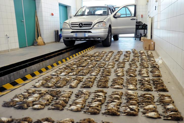 2011. október 22. Mezei pacsirták (Alauda arvensis) tizesével egymás mellé rendezett tetemei és a csempészéshez használt autó a kiszombori határátkelőhely egyik vizsgálati helyiségében. A mintegy nyolcszáz védett madár tetemét két belépésre jelentkező olasz vadász terepjárójában találták meg a rendőrök.