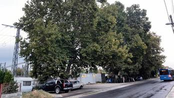 Megmenekült az ikonikus péceli platánfa