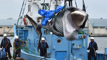 Közel másfél ezer tonnányi bálnát vadásztak le Japánban