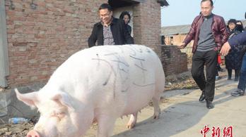 Akkora disznókat tenyésztenek Kínában, mint egy medve