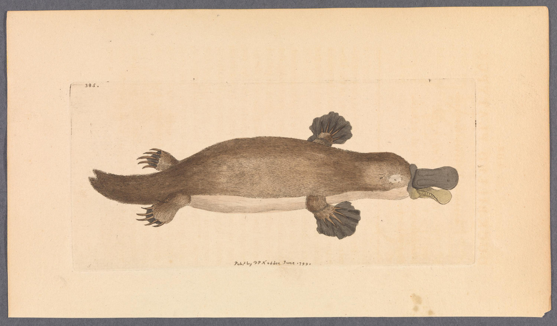 Korabeli rajz a Naturalist's Miscellany szaklapból