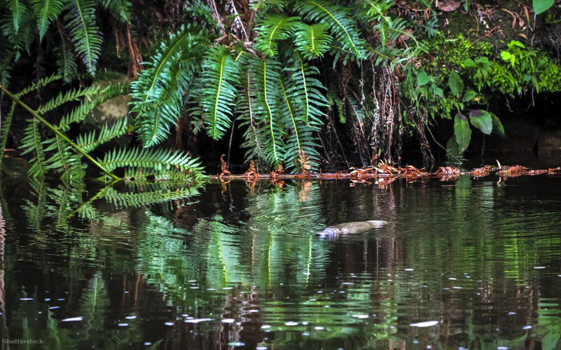 Vadon élő kacsacsőrű emlős úszik egy folyóban Tazmániában.