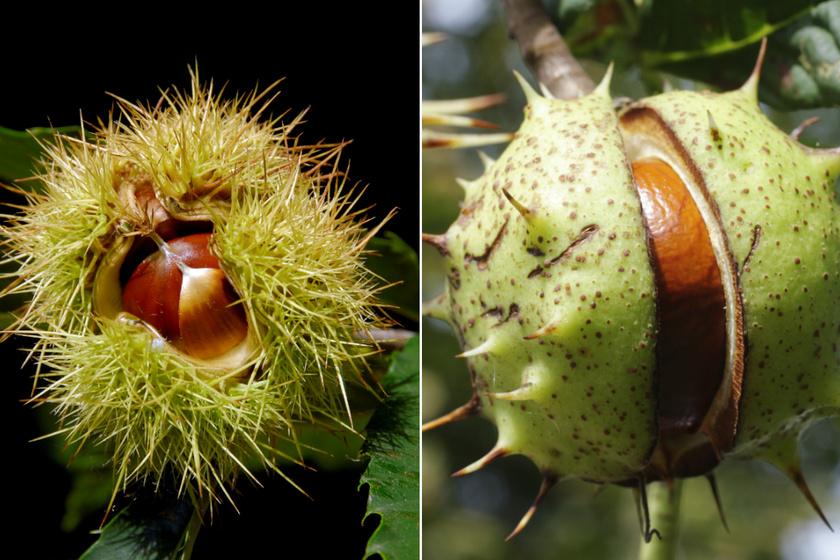 Bal oldalon a szelídgesztenye, jobb oldalon pedig a vadgesztenye látható.