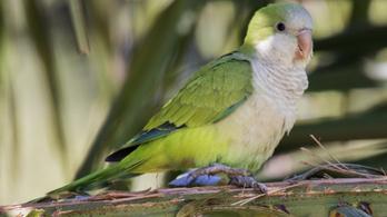 Madrid kész leszámolni a túlszaporodott bevándorló papagájokkal