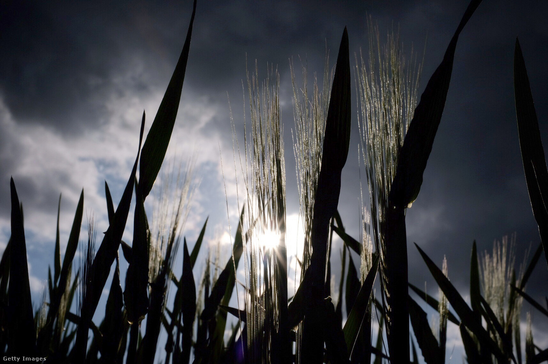 Kukoricaföld a németországi Észak-Rajna-Fesztfália tartományban