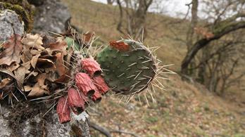 Invazív kaktuszfaj terjed a Vértesben