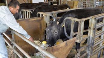 Öregen pusztult el a világ első klónozott tehene