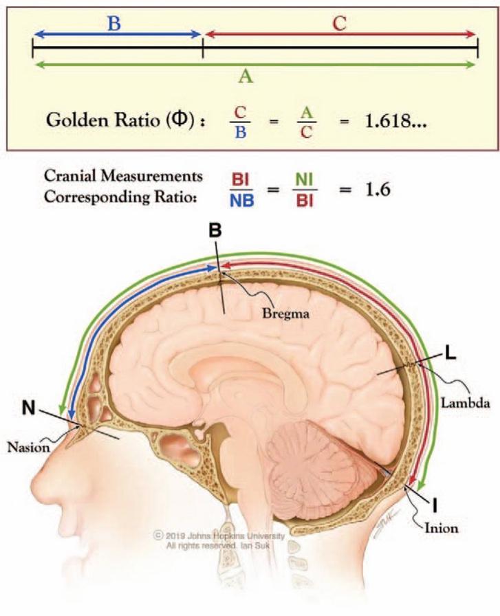 Az aranymetszés arányai az emberi koponya ügyesen kiválasztott pontjai között