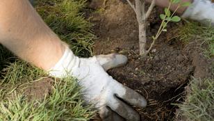 Fát ültetnél? Ezekre figyelj – hasznos tippek a kertészmérnöktől