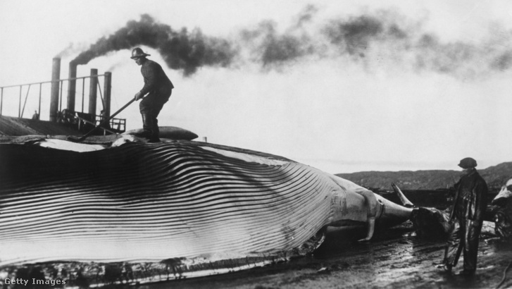 Óriás barázdásbálna zsírját fejti le egy munkás egy norvég bálnavadász-bázison a kanadai Labradorban az 1930-as években