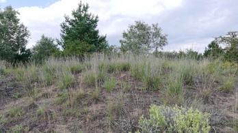 Veszélyes észak-amerikai inváziós fűfaj terjed Magyarországon