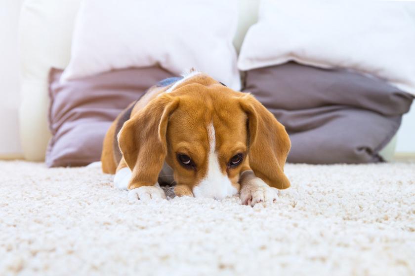 beagle kutya agyban