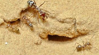 A szaharai ezüsthangya a világ leggyorsabb hangyája