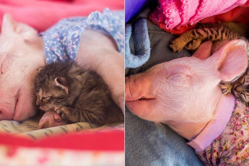 A mentett kismalac és a beteg kiscica barátságán olvadozik a net: egymást ölelve alszanak el