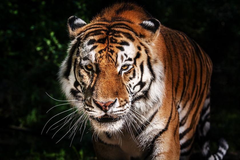 Mi ez a kis fehér folt a tigrisek fülén? Bámulatos a tudósok magyarázata