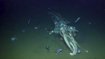 Bálnahullán lakomázó polipok és csontzabáló férgek az év tengerfenéki videóján