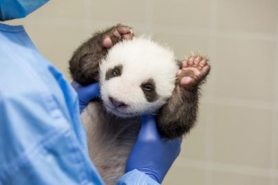 panda-5