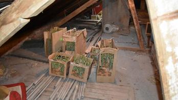 Másfél kiló marihuánát találtak egy szentesi padláson
