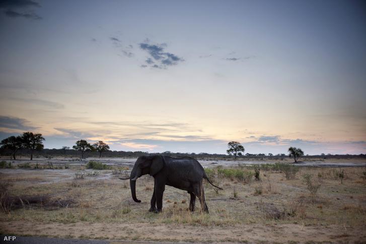 Egy elefánt a zimbabwei Hwange Nemzeti Parkban, 2012-ben.