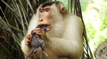 Patkányra vadászó majmoktól lesz fenntarthatóbb a pálmaolaj-termelés
