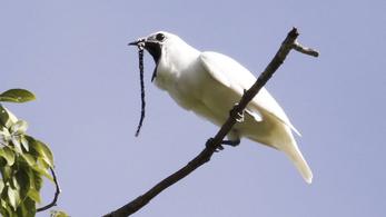 A világ leghangosabb madara úgy rikácsol, mint egy cölöpverő