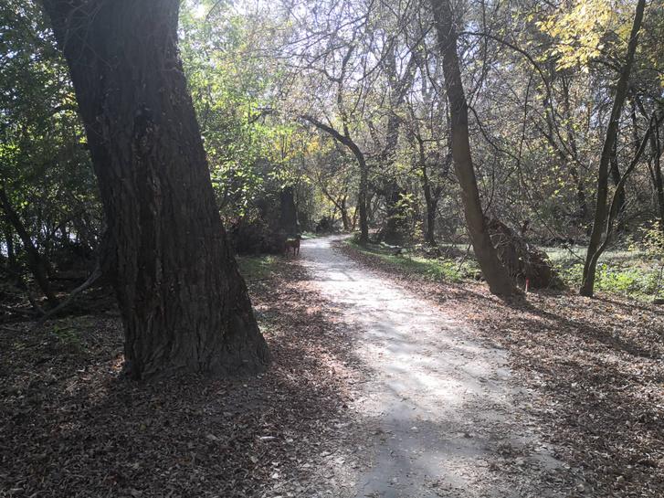 A baloldali fa majdnem kétméter törzsátmérőjű
