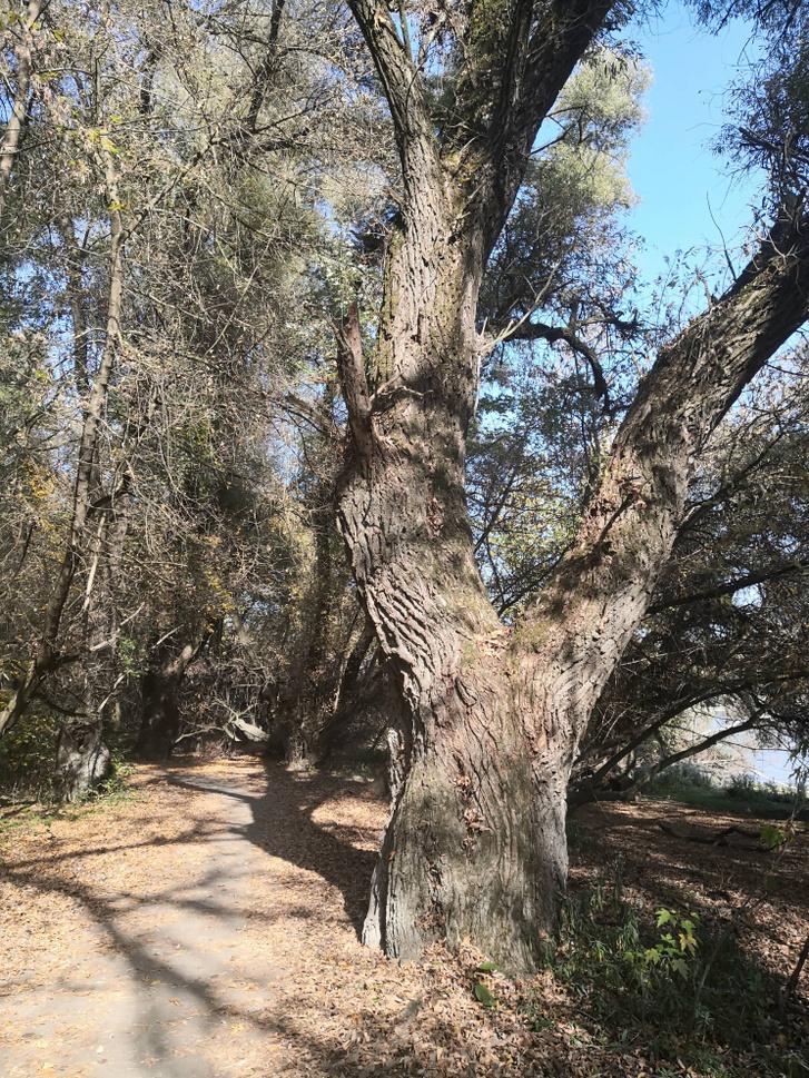 Ez a hatalmas fa is veszélyesen közel van az életet-halál-zónához