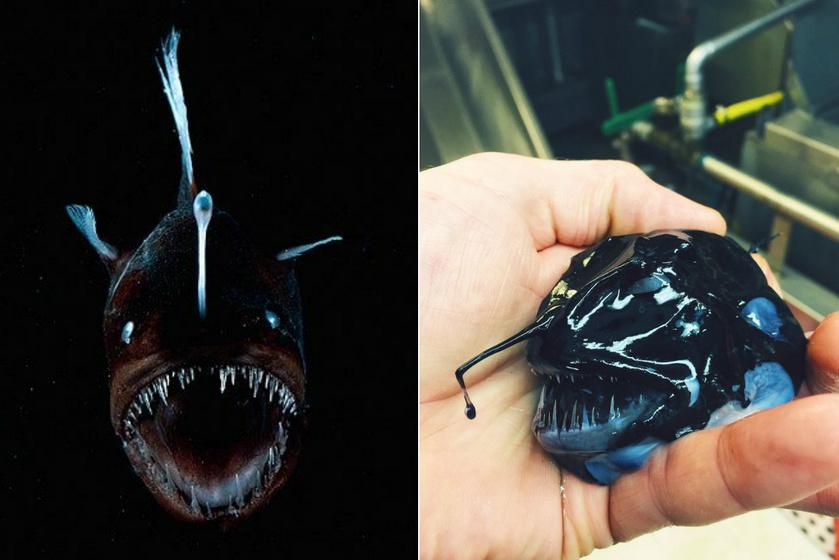 A mélytengeri horgászhalat ördöghalnak vagy fekete ördögnek is szokták hívni. Ugyan nem a Mariana-árok legmélyén, hanem mindössze 100-4500 méteres mélységben élnek. A hímek pár centi nagyságúak, míg a nőstények akár 20 centiméteresek is lehetnek.