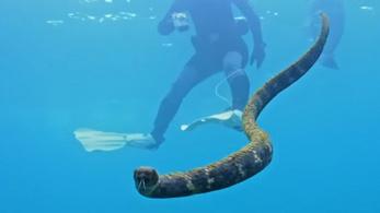 Snorkelező nagymamák segítettek a mérges tengeri kígyók megfigyelésében