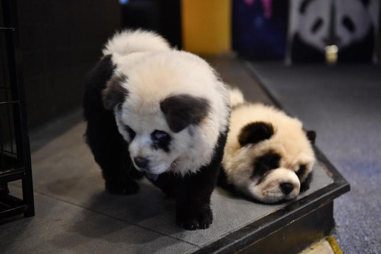 Nézze csak őket! Valóban olyanok, mint a bambuszevő mackók.
