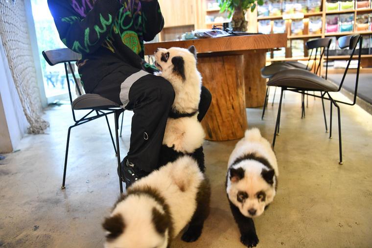 Az édes panda-utánzatok teljesen elvarázsolták a kávézó vendégeit, és nem meglepő módon jócskán feldobták a forgalmat.