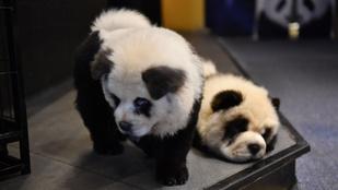 Panda csau csaukkal csalogatja vendégeit egy kínai kávézó