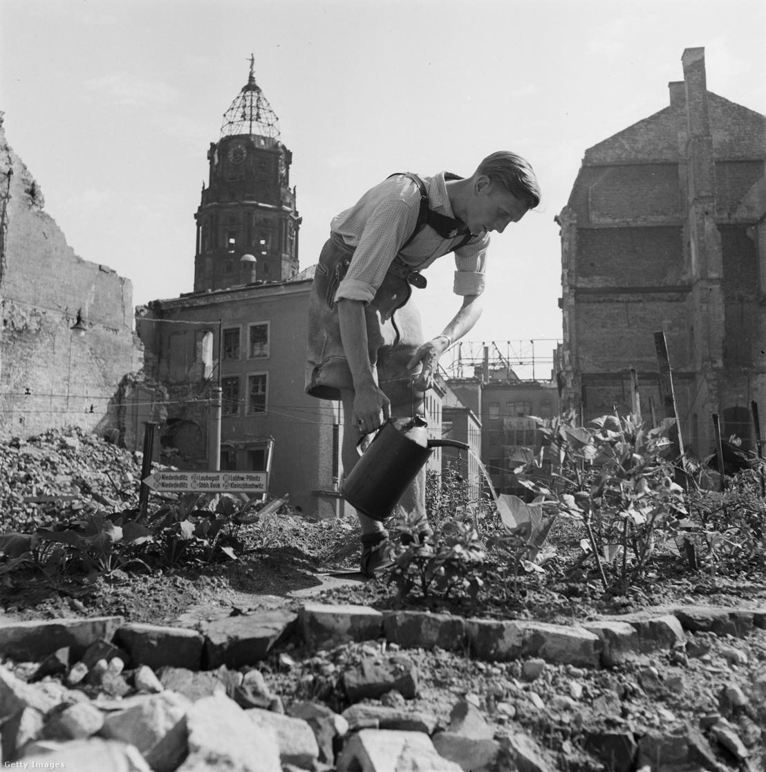 Egy férfi zöldségeket öntöz a lebombázott Drezda romjai között 1947-ben