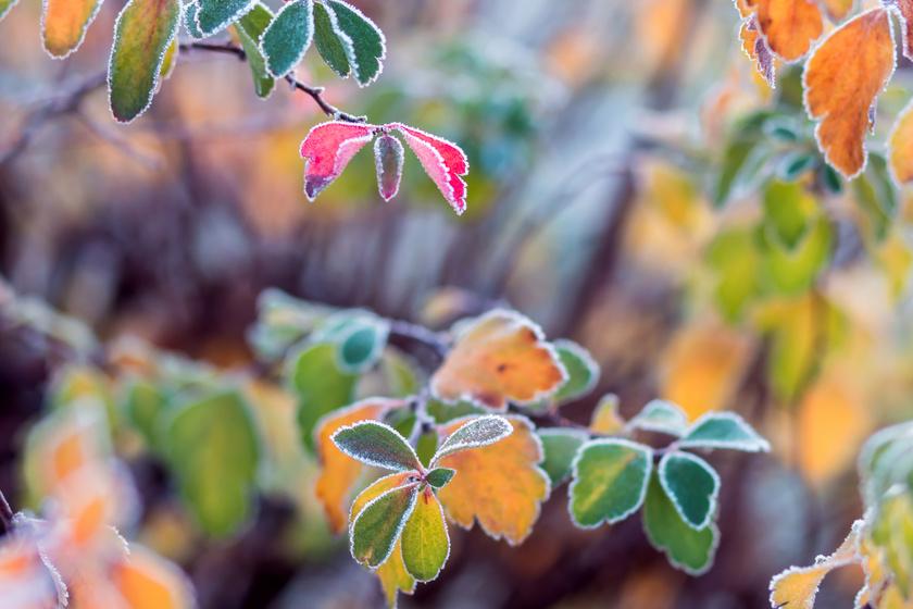 fagyos-levelek