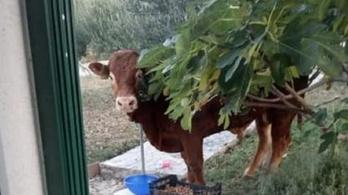 Megszökött egy bika egy horvát vágóhídról