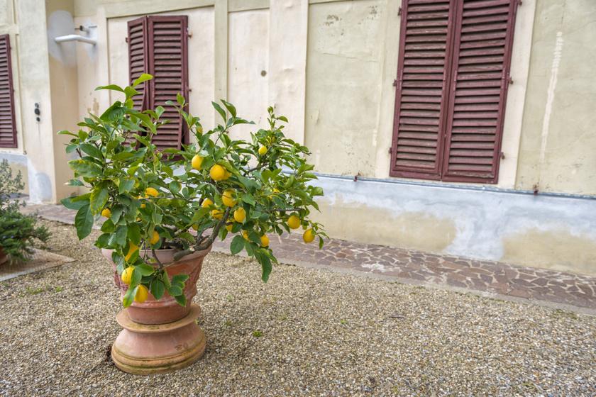 A citromfa nyáron a kertben is jól elvan. Szereti a meleget, a napfényt, télen pedig a párát. Bár elviseli akár a -5 fokot is, 18-30 fok között érzi magát a legjobban.