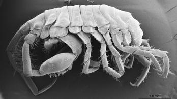 A cetcápák szájában élő rákfajt fedeztek fel