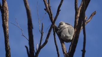 Több száz koala halhatott meg egy ausztrál bozóttűzben