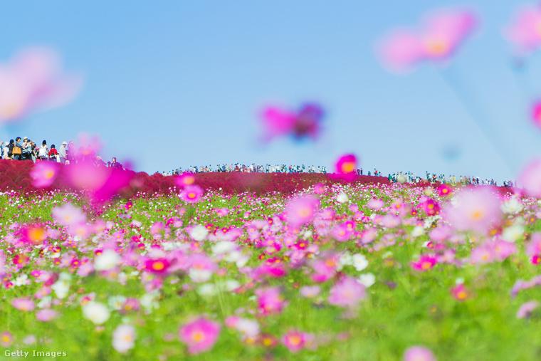 Hitachi Seaside ParkTokiótól északkeletre, a Kanto-síkságon fekszik a Hitachi Seaside Park, ami temérdek virágával a növényimádók paradicsoma