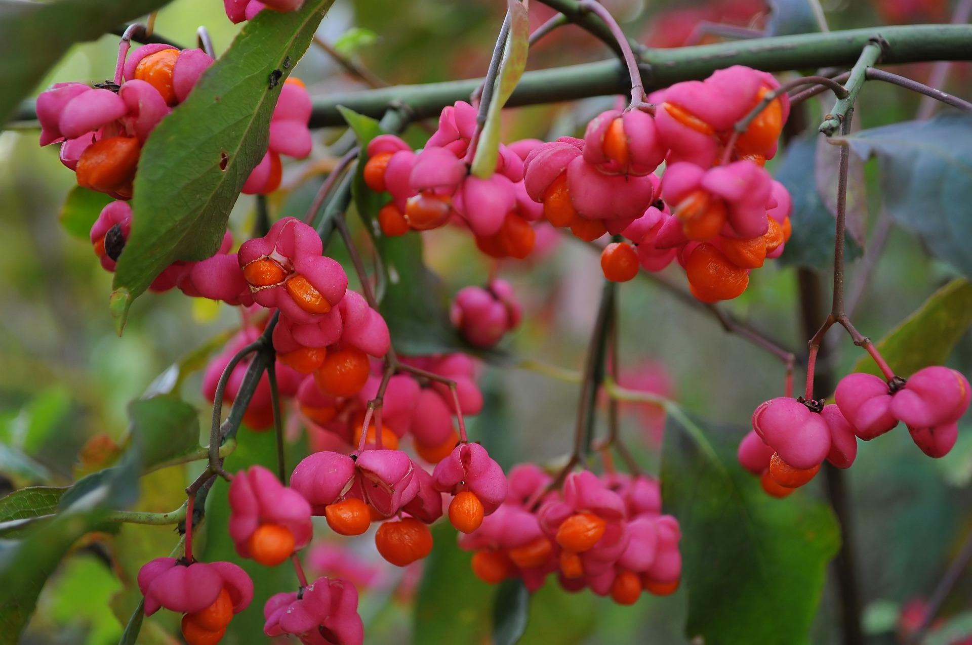 Melyik ez a gyönyörű bogyó, meg szabad kóstolni?