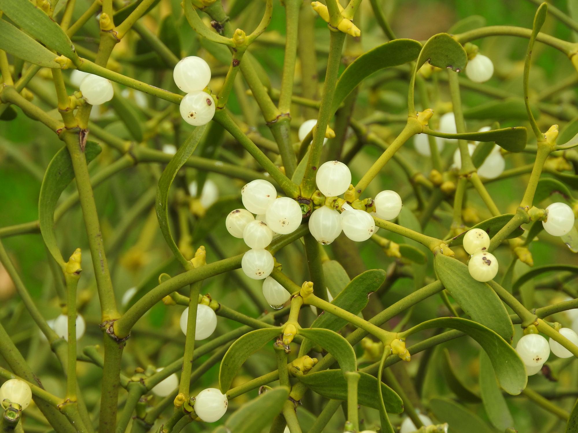 Melyik lehet ez a fehér bogyó magasan a fákon?