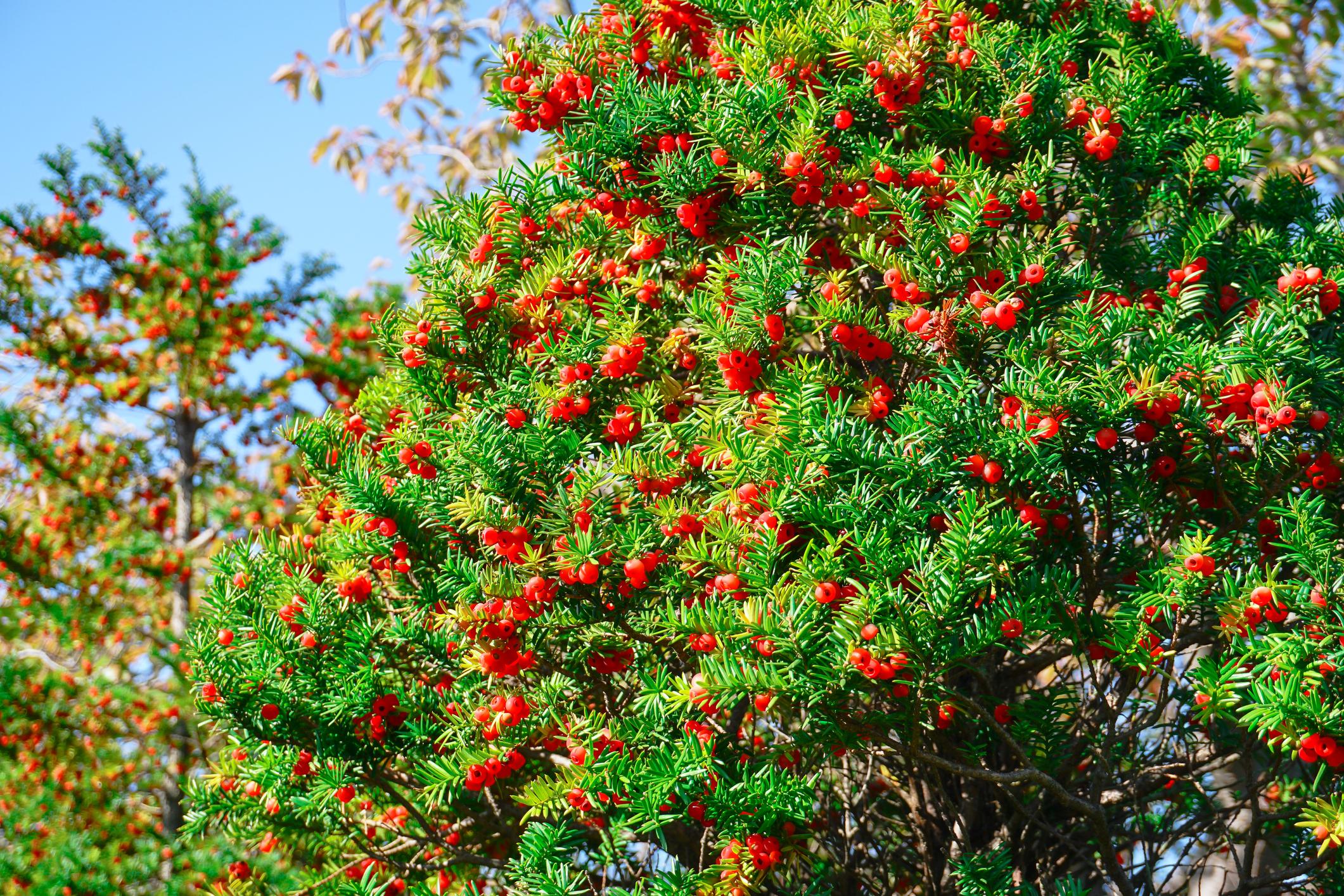 Ezt a mérgező növényt előszeretettel használják dísznövényként is. Mi ez?