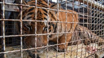 Tíz tigrist akartak Oroszországba csempészni szörnyű körülmények közt, az egyik elpusztult