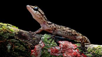 Két új gyíkfajt fedeztek fel a Galápagos-szigeteken