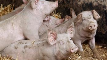 Több mint félmillió sertés halt meg a sertéspestis óta Romániában
